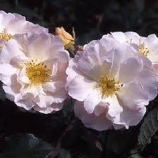 penelope hybrid musk rose