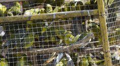 In einem engen Käfig sind zahlreiche Vögel eingesperrt.