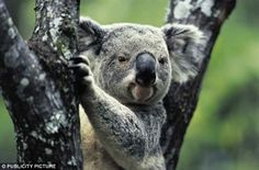 A different kind of intelligence: Koalas, have special pectoral glands for scent marking their environment in a complex way but humans cannot gauge the complexity of messages contained in olfactory markings, which may be as rich in information as the visual world,the scientists said