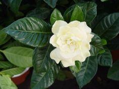 Jazmines en Uruguay, el perfume de las fiestas(Gardenia Jazminoide)