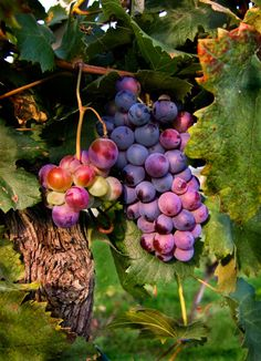 GRAPES RIPENING ON THE VINE BEFORE THE WINE  HARVEST Central, Italy | FotoAmore - Fine Art Photography - Craig & Jane Love