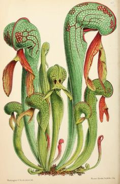 Pitcher plant, 1869 - The Floral magazine; - Biodiversity Heritage Library