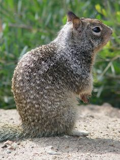 California Ground Squirrel, Beechy squirrel now spelled several other ways. Was named after Mr. Beechy.