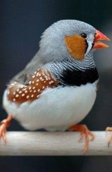 Zebra Finch (Taeniopygia gutatta castanotis) AKA: Chestnut-eared Finch. Most popular of all finches as a cage bird.