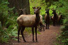 Two Days in Redwood National Park, Humboldt County, California Trinidad, Roosevelt Elk, Humboldt County, Deer Family, Redwood Forest, Us National Parks, Animal Totems, Northern California, California Trip