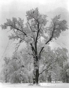 Oak Tree, Snowstorm Ansel Adams
