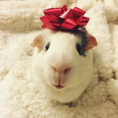 Christmas Card Photo Guinea Pig Blinky!!!!