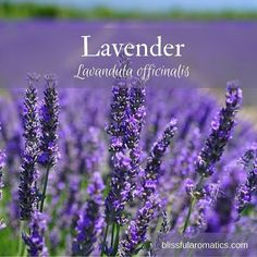 Lavender Botanical Name: Lavandula officinalis Plant Part: Flower Aroma: Fresh soft & floral Country Of Origin: France Method Of Extraction: Steam Distillation Cautions: Non-toxic Blends Well With: Anise Bergamot Cedarwood Chamomile (German & Roman) Clove Clary Sage Eucalyptus Geranium Grapefruit Lemon Lemongrass Neroli Patchouli Peppermint Rosemary Sandalwood Tea Tree and Vetiver. . Aromatherapy Benefits: Analgesic antibacterial anti-infectious anti-inflammatory antiseptic antispasmodic…