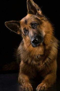 Gorgeous German Shepherd Dog