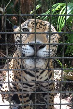 belize zoo; buddy jr.