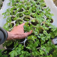 A Quick but Comprehensive Guide to Starting Vegetable Seeds Indoors: Lights, Starting Mixes, Watering, Germination, Feeding and Transplanting!