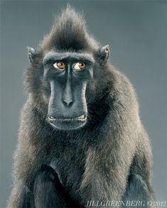 Monkey Portraits by Jill Greenberg | Inspiration Grid | Design Inspiration