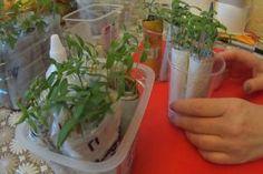 Turtițe cu cașcaval la tigaie – se prepară ușor și se mănâncă repede! - Retete Usoare Plastic Cutting Board, Garden, Plants, Garten, Lawn And Garden, Gardens, Plant, Gardening, Outdoor
