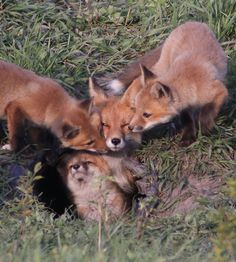 Red Fox Cubs by Nick von Ohlen Animals And Pets, Baby Animals, Funny Animals, Cute Animals, Wild Animals, Fantastic Fox, Fabulous Fox, Most Beautiful Animals, Beautiful Creatures