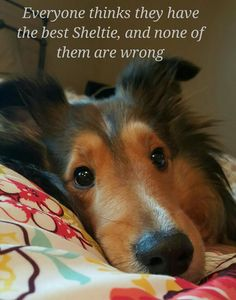 Sheltie Nation is the largest community of Shetland Sheepdogs lovers on the net. Filled with photos, information and advice; come learn about this breed!
