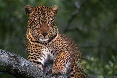 leopard Photo by ahmad alessa - 2015 Traveler Photo Contest