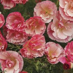 Sömntuta, Raspberry Fool, blomsterfröer, fröer