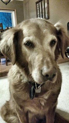 This is Deputy - 12 yrs. He was an owner surrender due to a move. He is neutered, current on vaccinations, potty trained, good with dogs, cats and older kids. Happy Tails Rescue, MN. - http://www.tailsrescue.org/animals/browse?Species=Dog - https://www.facebook.com/happytailsrescueminnesota