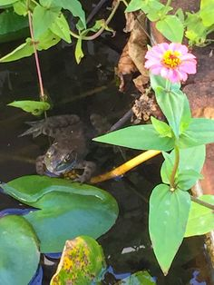 Our resident frog in our courtyard pond sings to us nightly. SC Romance? I'd say yes.