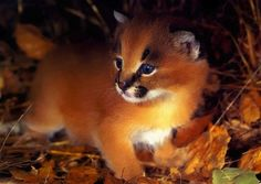 """The caracal is a medium sized cat which it spread in West Asia, South Asia, and Africa. The word Caracal is from Turkey """"Karakulak"""" which means """"Black Ears"""". Here is all about caracal as a pet. Baby Caracal, Caracal Kittens, Lynx Kitten, Serval, Siamese Cats, Cute Kittens, Cats And Kittens, Big Cats, Pretty Cats"""