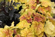 Heuchera 'Delta Dawn' - Lovely brick red foliage scalloped with lime green margins and beautiful red veining in summer with white bell flowers in June. Great in containers or for the front of a border. www.thepavilion.ie