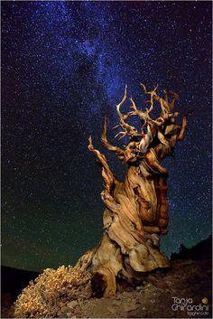 Ancient Bristlecone Pine::cM