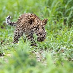 "Jono Buffey Photography ""A leopard cub playfully stalks its sibling. We spent several hours with them and Mom at the magnificent Londolozi Game Reserve in South Africa. Leopard Cub, Kitty Games, Owning A Cat, Game Reserve, Cat Grooming, Big Cats, Siblings, Cubs, South Africa"