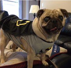 Fender the pug in his Batman costume! Batpug!
