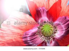 Download this stock image: red poppy - FJY6NK from Alamy's library of millions of high resolution stock photos, illustrations and vectors.