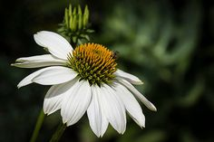 Floral Printable Photography Shasta Daisy Nature Photography