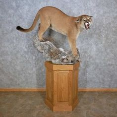 This gorgeous mountain lion taxidermy mount is for sale @thetaxidermystore.com