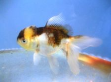 "Live Fancy Chinese Goldfish -5"" Panda Oranda"