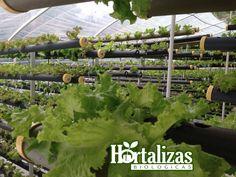 Lechuga hidroponica. Bogota Colombia Facebook: hortalizas biológicas