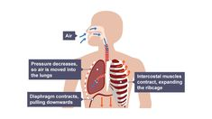 Air drawn in to nasal cavity and mouth and down throat. Pressure decreases in lungs, air is pushed in. Diaphragm contracts and pulls downwards. Intercostal muscles contract and expand the ribcage. Biology Revision, Science Revision, Nasal Passages, Arm Muscles, Muscle Body, Respiratory System, Breath In Breath Out, Rib Cage