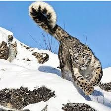 Image result for snow leopard holding tail