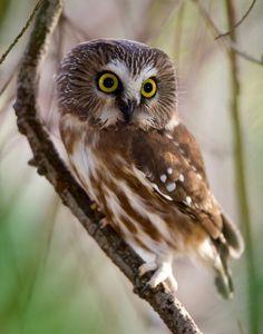 Northern Saw Whet Owl - sooooo cute!