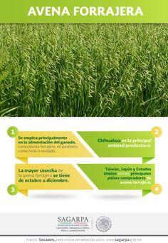 Se emplea principalmente en la alimentación del ganado, como planta forrajera, en pastoreo, como heno o ensilado. SAGARPA SAGARPAMX