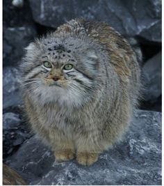 Pallas's cats are solitary. Both males and females scent mark their territory. They spend the day in caves, rock crevices, or marmot burrows, and emerge in the late afternoon to begin hunting. They are not fast runners, and hunt primarily by ambush or stalking, using low vegetation and rocky terrain for cover. They feed largely on diurnally active prey species such as gerbils, pikas, voles and Chukar partridges, and sometimes catch young marmots.