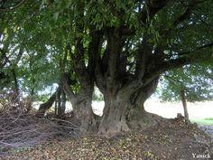 Frankrike - Bois de la Meilleraye - Erable champêtre de la Bonninière