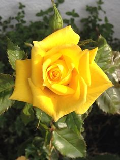 """4:32 The wonderful rose """"Fresia"""" still gots lots of buds - she´s often giving me roses at Christmas eve :) By IJ 12.10.14"""