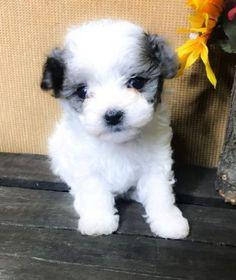Flora Poodle Puppy Miniature, Mini Poodle Puppy, Teacup Poodle Puppies, Tiny Toy Poodle, Tea Cup Poodle, Teacup Poodles For Sale, Toy Poodles For Sale, Poodle Puppies For Sale, Mini Poodles