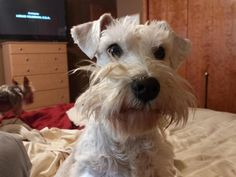 Meet Minnie, a Petfinder adoptable Schnauzer Dog | Republic, MO | Say hello to Minnie!  She is approximately 1 yr old and a surrender from an owner who could no...