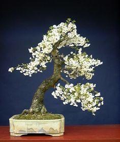 Dwarf Cherry. I love Bonsai trees. Please check out my website thanks. www.photopix.co.nz