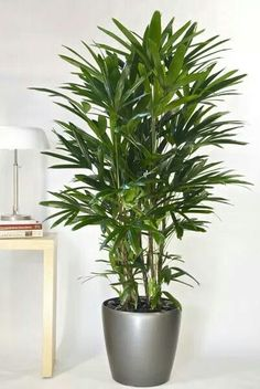 houstons online indoor plant pot store lady palm or rhapis palm