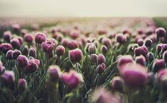 Meadow of purple tulips Flower Pictures, Print Pictures, Painting The Roses Red, Purple Tulips, Purple Haze, Periwinkle, Lilac, Tulip Fields, Tumblr