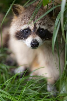 Sacred Nature ❦ Raccoon (by Adrien Sifre Photography) Cute Creatures, Beautiful Creatures, Animals Beautiful, Mundo Animal, My Animal, Nature Animals, Animals And Pets, Cute Raccoon, Baby Raccoon