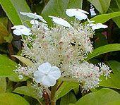 Growing & Pruning Hydrangeas | Macrophylla Climbing Quercifolia