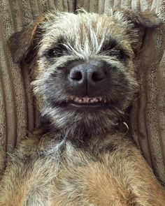 Mommy says beauty is in the eye of the beholder and she is blessed to behold a beauty such as I. Best Dog Breeds, Best Dogs, I Love Dogs, Cute Dogs, Terrier Dogs, Border Terrier Puppy, Funny Dog Pictures, Animal Pictures, Smiling Dogs