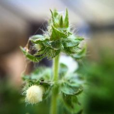 The flowers of the Thai Basil growing in my greenhouse. Taken close up with a macro lens. #instadaily #instagood #flowersofinstagram #plantsofinstagram #basil #food #growyourown #herb #herbs #macrophotography #macro #macro_freaks #macroworld #closeup