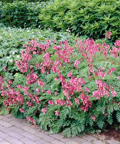 Another great find on #zulily! Live Reblooming Dwarf Bleeding Heart Bare-Root by Michigan Bulb Company #zulilyfinds